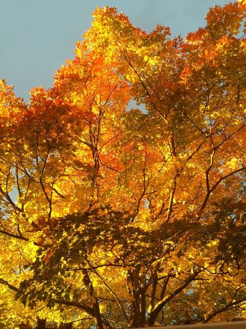 Last of fall's flames. Check This Out Autumn Autumn Colors EyeEm Best Shots EyeEm Gallery EyeEm Nature Lover Nature SimcoeCounty Eye4photography  Fall Beauty Taking Photos Beautiful Light Maple Enjoying Life