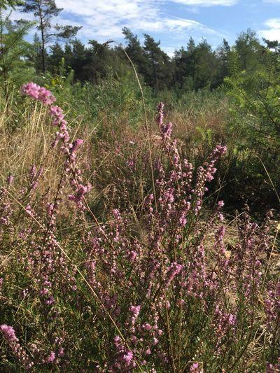 Heide in bloei Paars Purple Heide