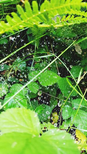 Raindrops Green Color Nature Leaf Water Spider Web Beauty In Nature Drop Growth Outdoors Web No People Day Plant Close-up Grass Fragility Full Frame Freshness