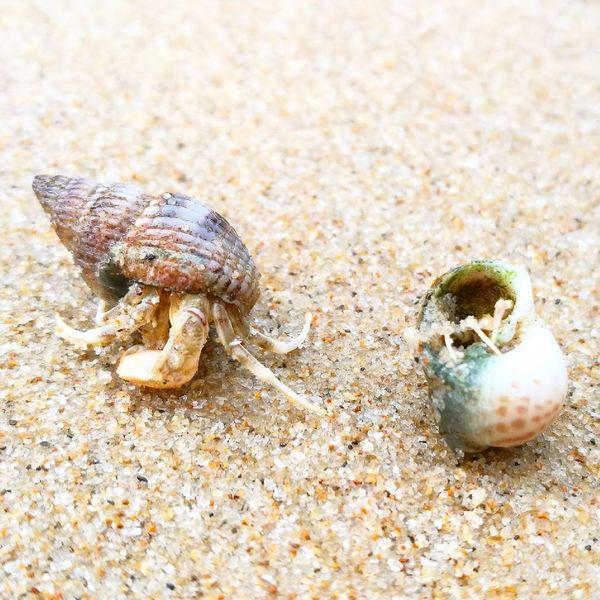 Sand Crab Nature Crawling Wildlife Beach