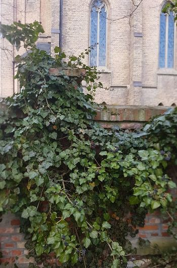 Plant Part Architecture Leaf Plant Growth Green Color Built Structure Building Exterior Day No People Nature Outdoors Ivy Building Creeper Plant Wall - Building Feature Low Angle View Wall Beauty In Nature Window Old Buildings Contrast Church