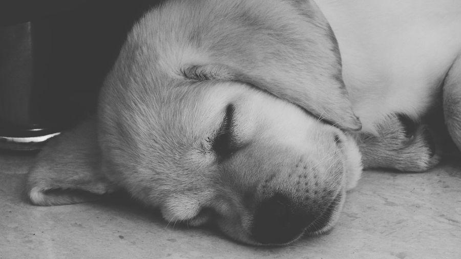 Close-up of labrador puppy sleeping on floor