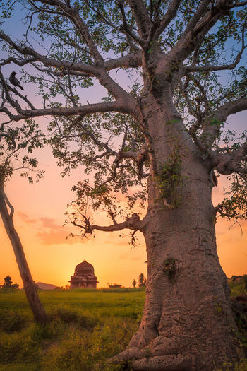 Baobab tree at sunset in Madhya Pradesh, India. Baobab Bare Tree Beauty In Nature Branch Field Giant Grass Idyllic India Landscape Nature No People Non-urban Scene Orange Color Outdoors Remote Rural Scene Scenics Sky Sunset Sunset_collection Tranquil Scene Tranquility Tree Tree Trunk