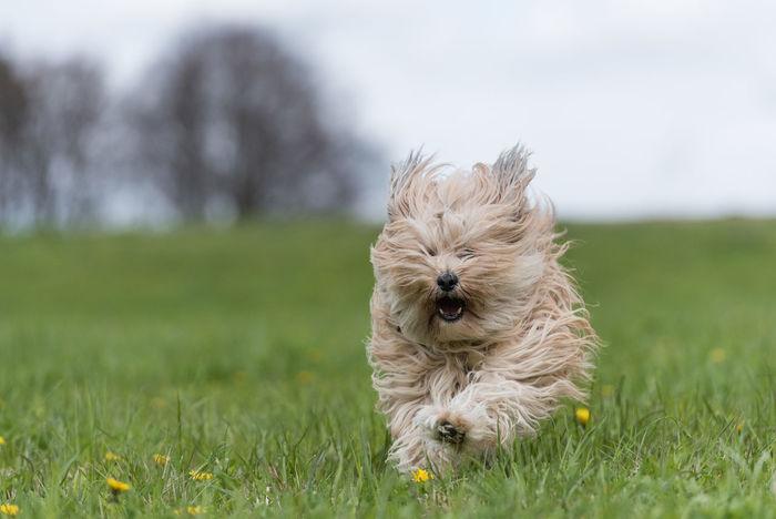 Running Dog Hund Tibet Terrier Animal Hair Animal Themes Dog Domestic Animals Kleiner Hund Mammal No People One Animal Outdoors Pets