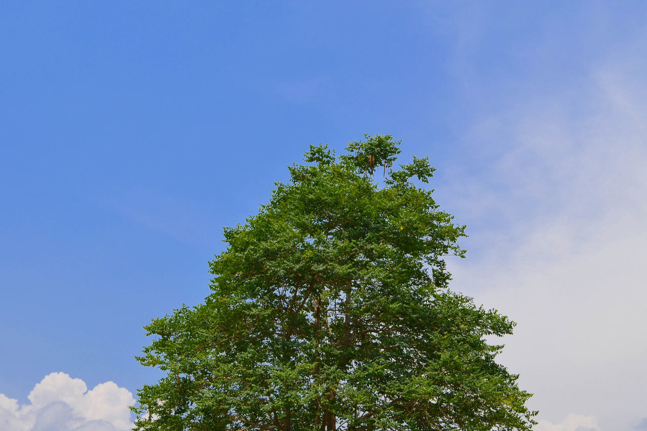 tree, low angle view, growth, nature, day, green color, no people, sky, beauty in nature, tranquility, outdoors, blue, branch, clear sky