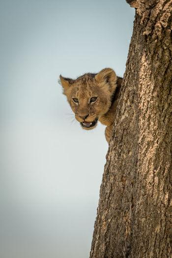 Portrait of lion cub peeking through tree trunk