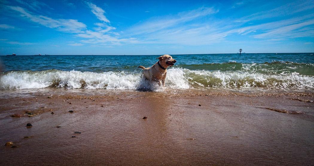 Sea Beach Sand Sky Goldenlabrador Goldenlab Golden Retriever Pets One Animal Blue Dog Labrador Dog Life Dog Walking Dog Days Dogphoto Photography Photo Pet Portraits