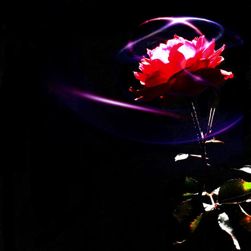 Flower EyeEm Best Edits The Rose Light And Shadow