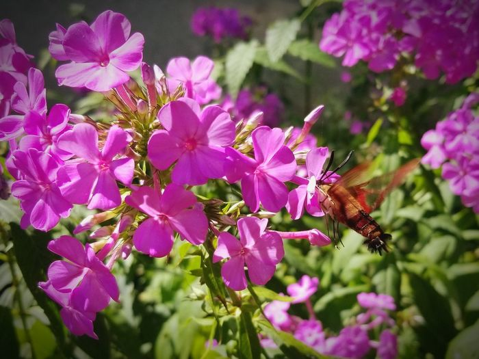 Hummingbird Moth Hummingbird Moth Moth Flower Head Blooming Buzzing Symbiotic Relationship Plant Life Flowering Plant Blossom Pollen In Bloom Butterfly - Insect