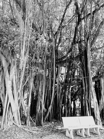 Tree Nature Tree_collection  Nature Photography Tree View Tree Photography Banyan Tree Banyan Root Of Banyan Tree Banyan Root Low Angle Low Angle Shot Low Angle View Black And White Black And White Tree Black And White Photography ใน Don Mueang, Thailand