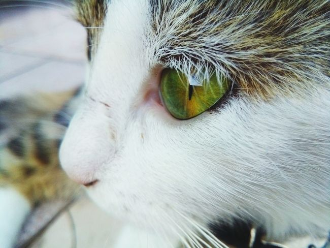 Domestic Cat One Animal Mammal Close-up Domestic Animals Feline Pets Animal Eye Animal Animal Themes Green Collection No People Yawning Day Outdoors Green Color Growth Nature Green Colour Green Green Eyes Cat Green Eyes The Portraitist - 2017 EyeEm Awards