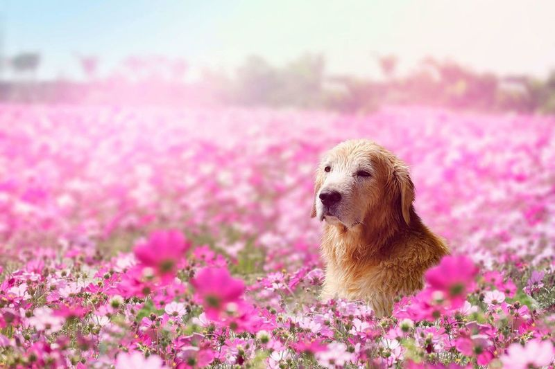 Close-Up Of Dog In Pink Flowers