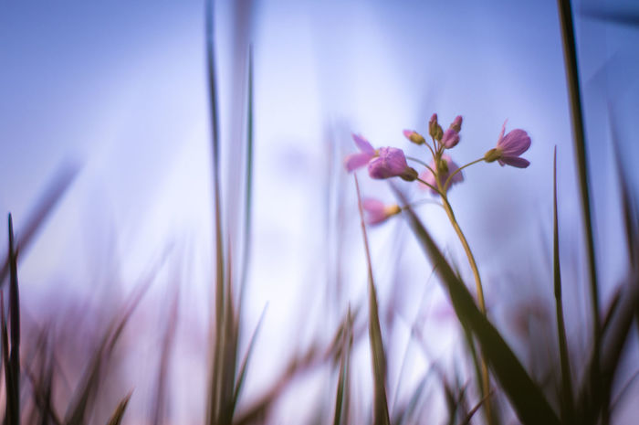 cardamine: wildwuchs Lady's Smock Beauty In Nature Blooming Blossom Botany Close-up Cuckoo Flower Cuckooflower Flower Flower Head Flowers Focus On Foreground Fragility Freshness Growth Meadow Meadow Flowers Nature Pink Color Purple Selective Focus Sky Softness Violet