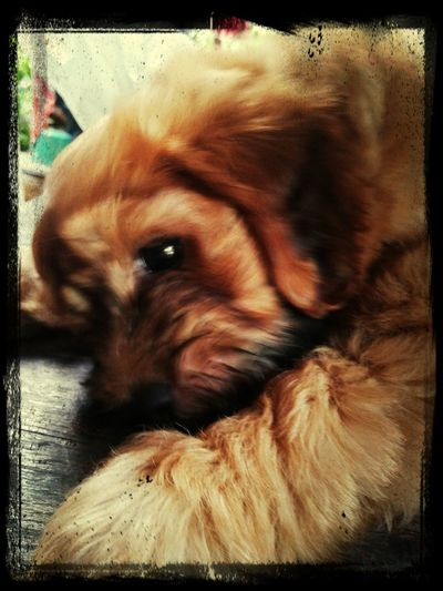 อองฟอง หมาน้อยขี้เซา