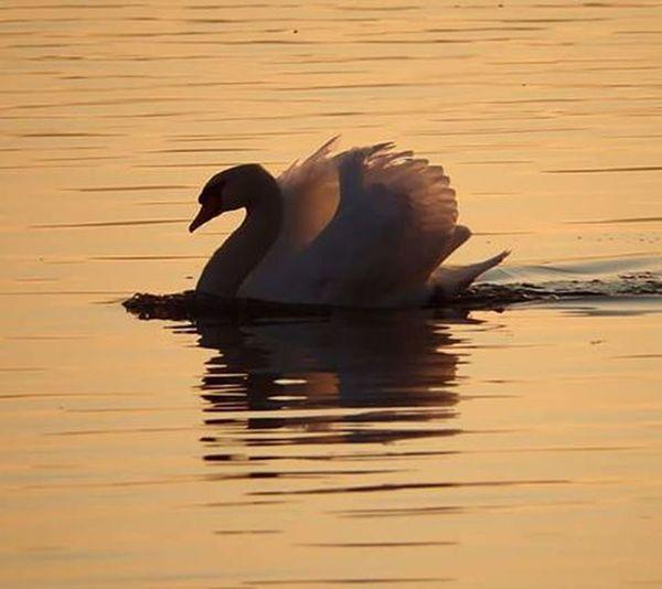 Cigno Swan Swansilhouette Lake