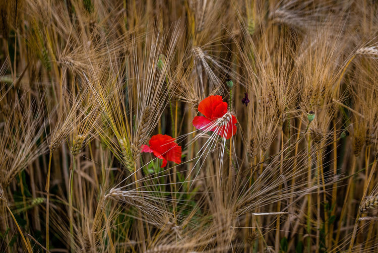 Plant Flower Flowering Plant Red Nature Growth No People Bird Agriculture Land Close-up Beauty In Nature Chicken - Bird Field Day Fragility Poppy Vulnerability  Freshness Livestock Outdoors