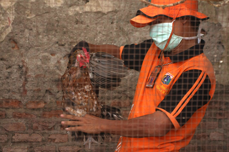 Officers arrested a fowl that will be destroyed in the operation of preventing the spread of avian influenza virus (H5N1) in Kemayoran, Central Jakarta, Indonesia on Monday, March 28, 2016. Culling of poultry owned by residents was conducted in all regions of Jakarta as the prevention of the spread of the bird flu virus, following the discovery of a number of poultry who died suddenly and positively infected by avian influenza in South Jakarta on March 20. Brick Wall Day Disease H5n1 Virus Orange Color Poultry Poultryfarm Prevention Is Better Than Cure.