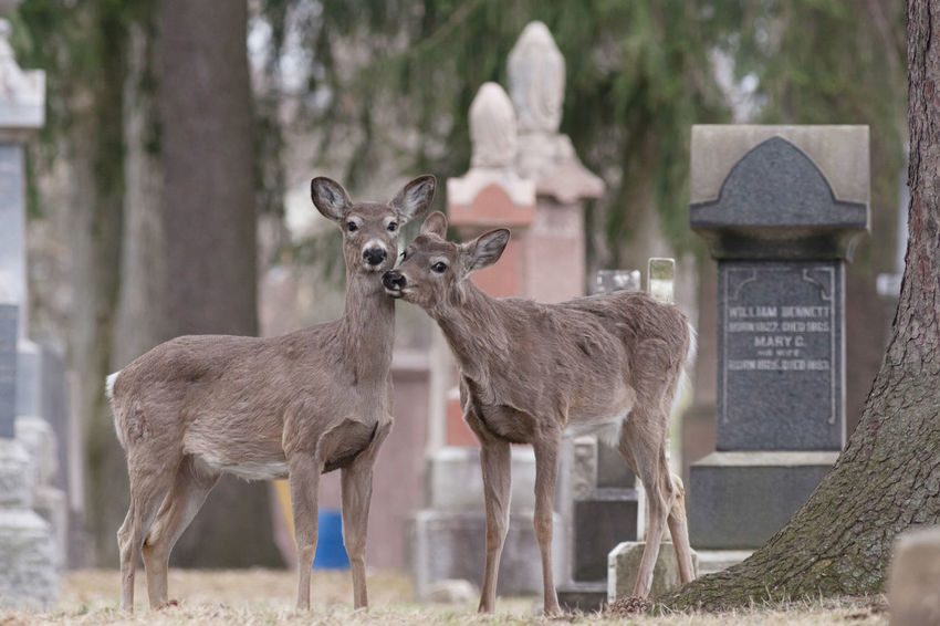 Couples shoot. Two deer pose perfectly in Woodland Cemetery, London, Ontario. Portrait Full Frame Canon Canonphotography Naturelovers Nature_perfection Animal Themes Animal Wildlife Nature Nature_collection Nature Photography Cemetery Canada Wildlife Tree Standing Fawn Deer Animal Family Foal Young Animal