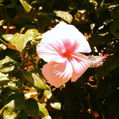 Travel Flowers Hibiscus Rosasensis Beautiful Ontheroad Takeapicture