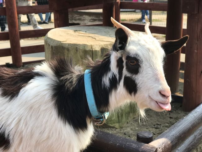 Domestic Animals Animal Themes One Animal Mammal No People Day Livestock Close-up Pets Outdoors Portrait Goat Japan