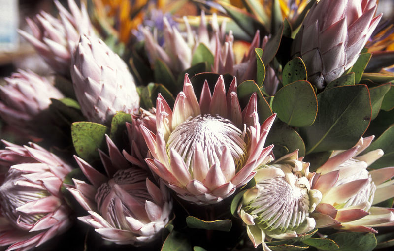 Close-up of proteas