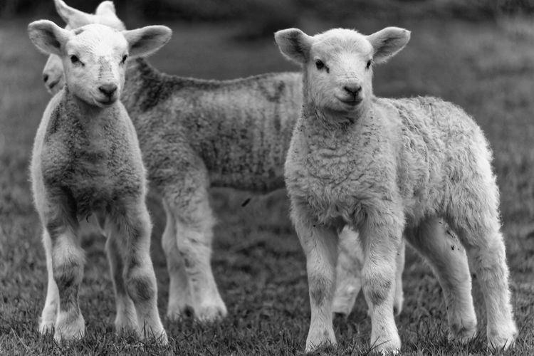 Mammal Portrait Looking At Camera Domestic Animals Focus On Foreground Vertebrate Domestic Herbivorous Sheep Lamb Animal Themes EyeEm Nature Lover EyeEm Gallery Farm Countryside Young Animal Animal Photography Group Of Animals Animal Standing Outdoors Animal Family Blackandwhite