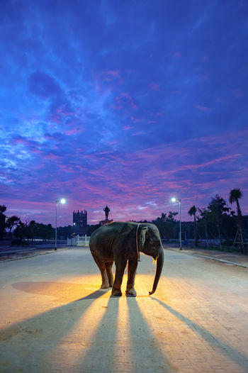 Elephant standing on illuminated street against sky at sunset