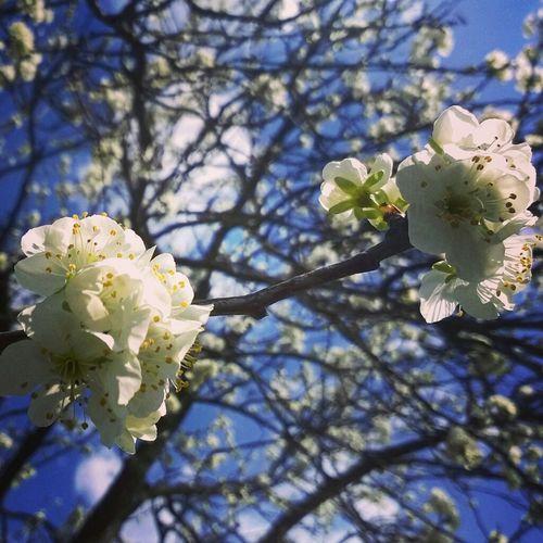 Украина♥ цветение цветущее дерево весна цветы🌸🌼🌻💐🌾🌿