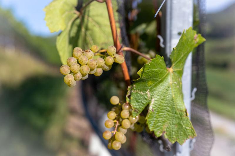 Close-up of berries growing in vineyard