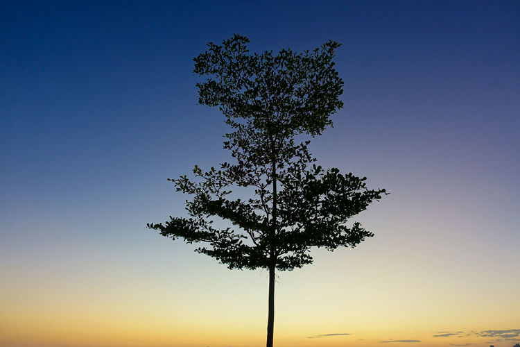 Young bucida tree against a clear sky during sunrise No People Silhouette Sky Sunrise Tranquil Scene Tranquility Tree Lone Tree Colors In The Sky Showcase April