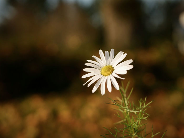 Flower Nature White Color Fragility Flower Head Plant Focus On Foreground Plant Outdoors Nature Day Autumn