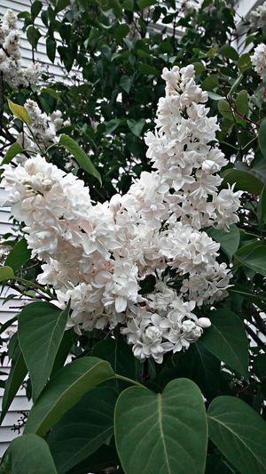 Sunday White !~ Sweet Smelling Flowers Happiness In Portland Maine USA White Flower Spring Flowers Beauty In Nature Nature_perfection Nature Lover Color Of Life Loving The Landscape Garden Plants No People Tranquility Flower Leaf Flower Head Close-up Plant Lilac In Bloom Plant Life