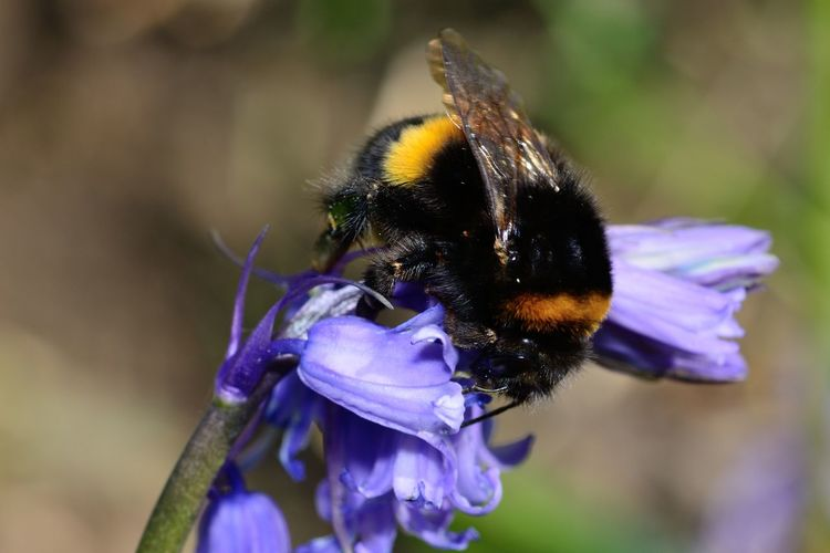 Close-Up Of Bumblebee On Purple Flowers