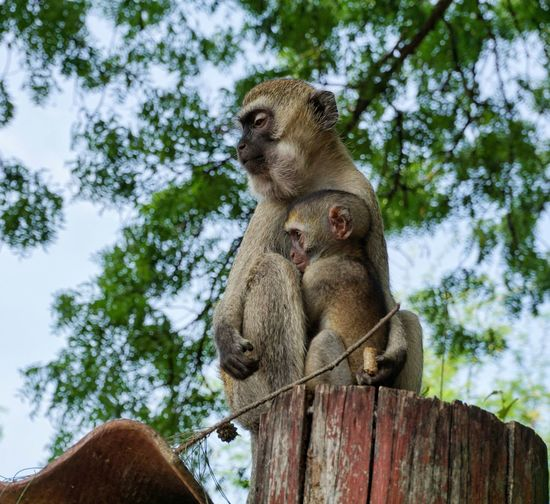 Mother and child ❤️ Mother And Child Fur Furry Wildlife Sony A6000 Kenya Nature Nature Photography Africa Animal Animal Wildlife Wildlife Photography Animals Travel Tree Perching Branch Sky Close-up Monkey Ape Infant Zoo