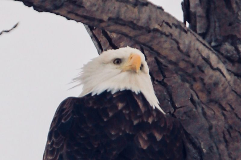 Portrait of a Bald Eagle Portrait Bird Animal Themes Animal One Animal Vertebrate Animal Wildlife Animals In The Wild Bird Of Prey Eagle Close-up No People Day Low Angle View Focus On Foreground Nature Animal Body Part Outdoors Eagle - Bird Beak Bald Eagle