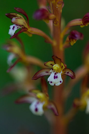 Spotted Coral Root Orchid Beauty In Nature Blooming Botanical Buzzing Close-up Delicate Flower Flower Head Fragility Freshness Growth Macro Macro Photography Nature Orchid Outdoors Petal Plant Spotted Coral Root Orchid, Wildflower Woodland Flowers