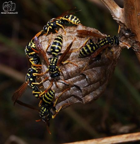 Wasps🐝 Wasp Avispa Avispas Contruyendo Su Casa Avispas Animal Wildlife Nikonphotographer Animals In The Wild Naturephotography Nature Photography Nature_collection Landscape_collection EyeEmNatureLover Animal Photography Photooftheday Outdoor Photography Naturelovers Natgeo Safari Forest Adventure Hiking Catalunya Martorell Nikon D60 Forest Nikonespaña Naturaleza🌾🌿 Nikonphotograhy Nature Photograhy Insect Photography Insect Insects Collection Insects  Insects Of The World