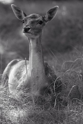 Deer Suspicious Animals In The Wild Monochrome Blackandwhite Black And White Black & White One Animal Animal Themes Grass Alertness Animal Head  Field Focus On Foreground Mammal Outdoors Zoology Nature Domestic Animals Tranquility Herbivorous Beauty In Nature Non-urban Scene