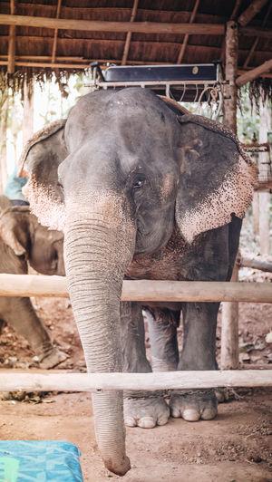 Animal Animal Head  Animal Themes Animal Wildlife Animals In The Wild Elephant Focus On Foreground Mammal One Animal Zoo