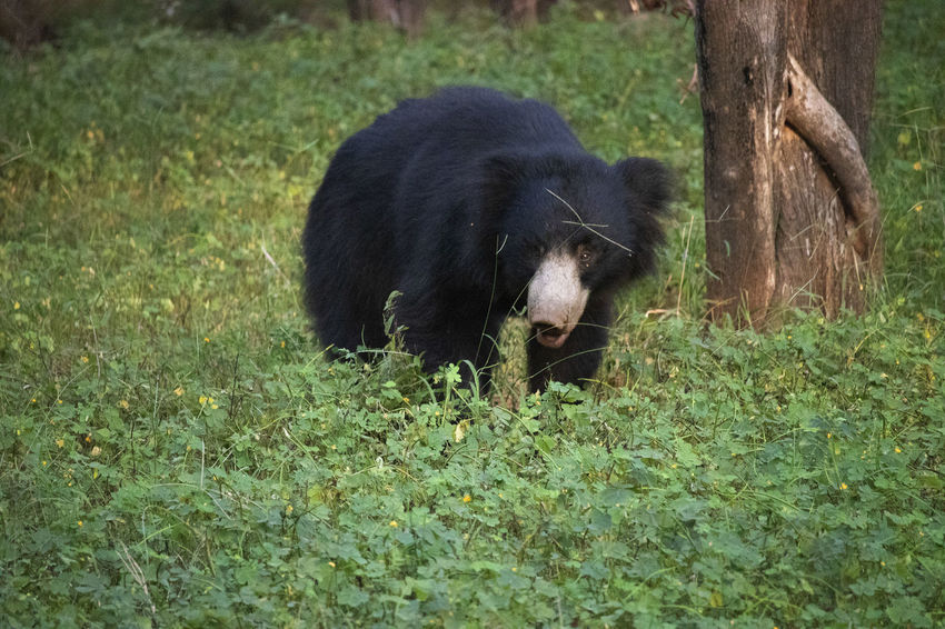 Rare glimpse of a Sloth bear Rathembore National park India Bear India Rathembore National Park Animal Themes Black Color Field Grass Herbivorous Nature No People One Animal Sloth Bear