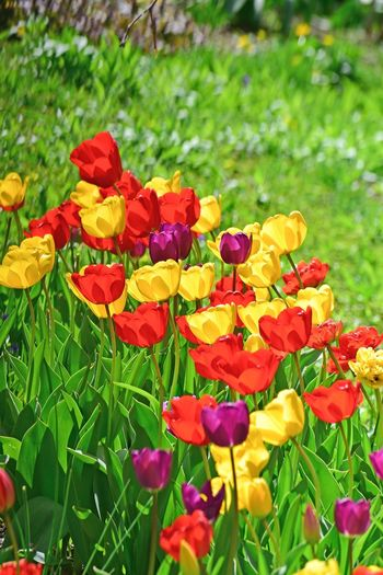 Flower Tulip Tulips🌷 Plant Flower Flowering Plant Beauty In Nature Fragility Growth Vulnerability  Flower Head Close-up Inflorescence Petal Green Color Focus On Foreground Day Plant Part Nature Leaf Yellow No People Freshness