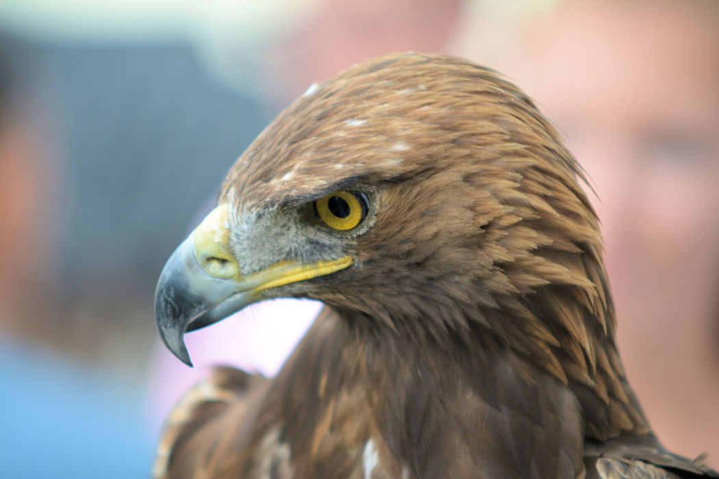 """During a falconny show at the castle """"Burg Hohenneuffen"""", very imprerssive eagle bird. Eagle Adler Animal Themes Bird Bird Of Prey Close-up Day Falknerei Focus On Foreground Hohenneuffen Nature No People Outdoors"""
