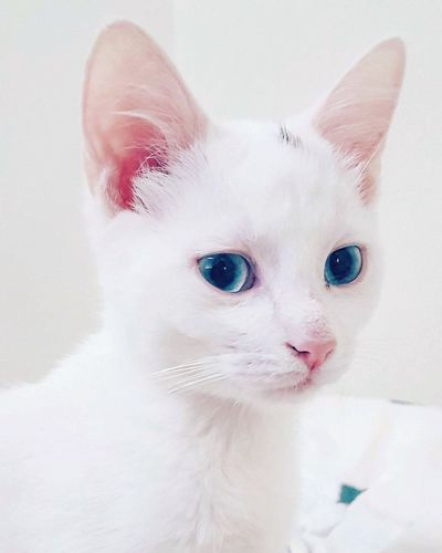 She has the most gorgeous eyes, my beautiful little white baby. Pets Close-up One Animal Animal Instagramcats Instacats White Cat Blue Eyes