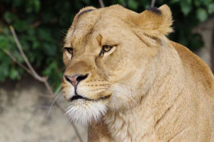 Lion - Feline Amsterdam Artiszoo Close-up EyeEmNewHere