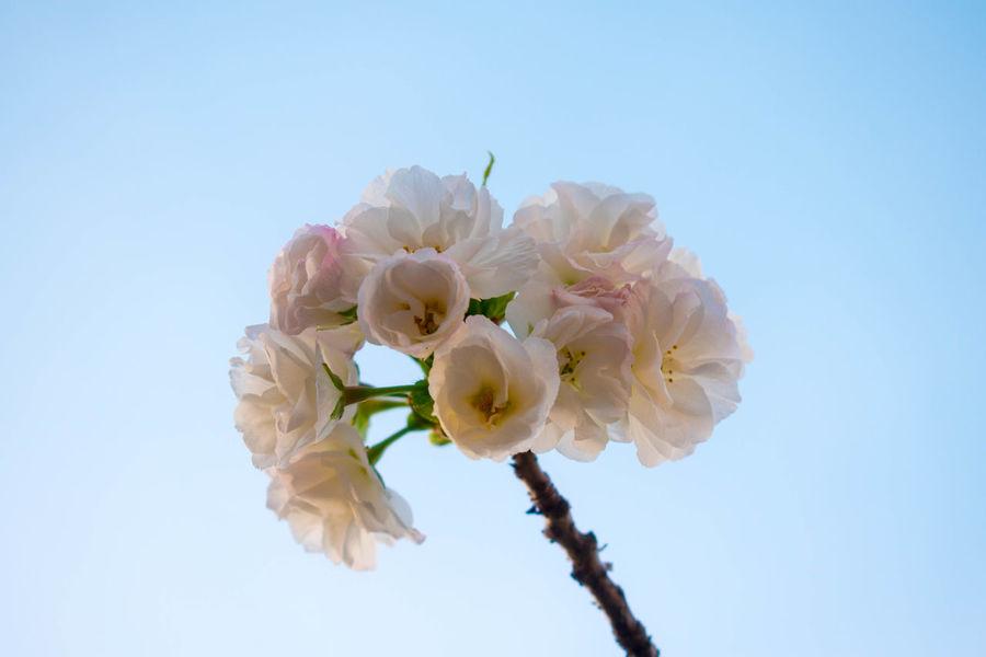 Cherry Blossoms Cherryblossoms Flowers Plants Sakura Sakura2016 Shinjuku Gyoen National Garden Tokyo