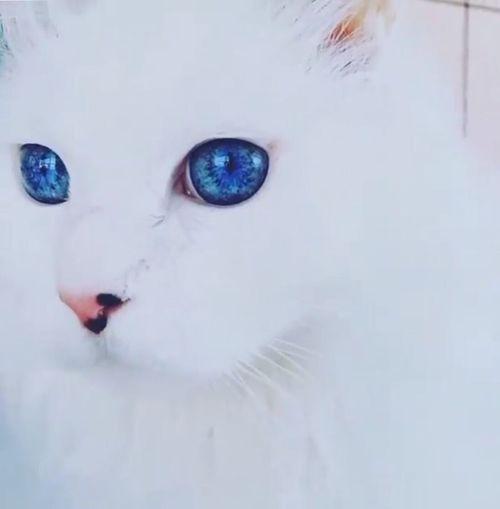 Persian Cat ..