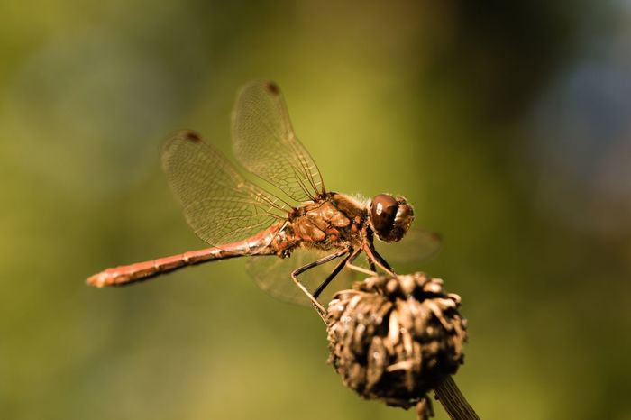 Heidelibelle Dragonfly Darter Common Darter Animal Themes Insect Wildlife One Animal Animals In The Wild Nature Beauty In Nature Macro Macro_collection