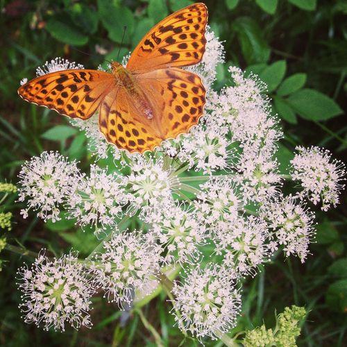 IPS2015Landscape butterfly Tallmon
