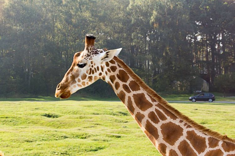 LVC Serengeti-Park, Hodenhagen Safari Giraffe