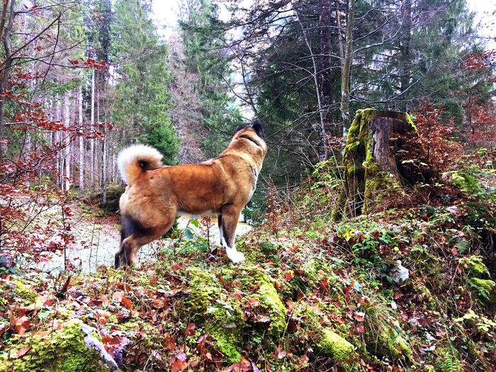 My Dog 😍 American Akita EyeEmNewHere Landscape EyeEm Best Shots - Nature EyeEm Nature Lover Americanakita Forest Photography Forest Domestic Animals Dog Animal Themes Pets Mammal Day One Animal Tree Nature